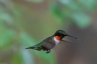 Ruby-throated hummingbird [Archilochus colubris]