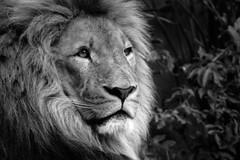 The King (claudia665art) Tags: wild white black cat grey blackwhite king adult lion kitty