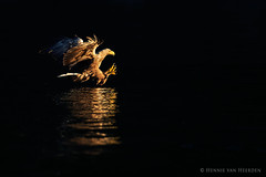 Rise like a phoenix (hvhe1) Tags: sunset wild bird nature phoenix animal norway backlight wildlife fjord rise birdofprey zeearend whitetailedeagle seeadler lauvsness hvhe1 hennievanheerden pygarguequeueblanche olemartinpohle
