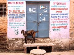 Jodhpur Schoolhouse (jleathers) Tags: school india english goat rajasthan jodhpur