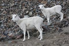 Sheep Mountain (Beard&Glasses) Tags: canada nature animal animals fauna canon rebel sheep wildlife north yukon xsi alaskahighway yt 2015 kluane northof60 explorecanada exploreyukon