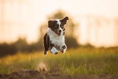 flying engine (Aleksandra Kielreuter - Fotografie) Tags: dog dogs action australian stunning aussie australianshepherd dogphotography doglover dogfotografie