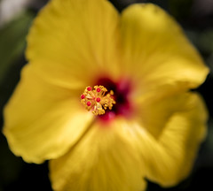 Flower (Peter Cabral Photography) Tags: flowers flower colour macro art beautiful yellow canon garden bokeh 2470mm streetsville macroflower canonmacro canon5ds cabralphotography