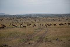 150831 Morning game drive, topis on guard (BY Chu) Tags: kenya masaimara topi maranorthconservancy safari