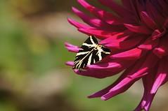 Jersey Tiger Moth / Écaille Chinée (Dr Wood's Wildlife Photos) Tags: moth arctiidae euplagiaquadripunctaria jerseytiger russischerbär spaansevlag écaillechinée falenadelledera vasamasiilikäs gatagafura rhodosbjørn
