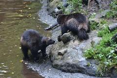 Fighting words (raewynp) Tags: mammal sweden skansen glutton wolverine carnivore gulogulo mustelidae carcajou skunkbear