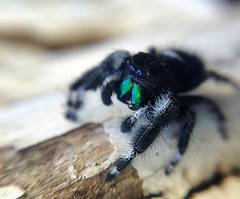 Jumping Spider (racheldragonfly) Tags: black nature spider jumping jumpingspider bold