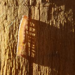 Rvik (Jaan Keinaste) Tags: macro fauna estonia olympus caterpillar eesti sh1 elusloodus rvik