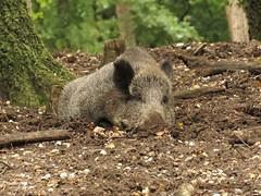 """""""Wild"""" boar (manonvanderburg) Tags: wild woods wildlife memories natuur lui boar veluwe zwijn bossen dutje earlyautumn natuurfotografie soezig"""