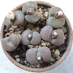 Lithops villetii subsp. deboeri. [C 230A, South Africa, 75 km E of Gamoep, type locality] (2) (Succulents Love by Pasquale Ruocco (stabiae)) Tags: southafrica succulent lithops mesembryanthemum namibia mimicry succulents stabiae mimetismo piantegrasse aizoaceae succulente mesembryanthemaceae cactusco mesembs floweringstones sassifioriti pasqualeruocco mesembryanthema succulentslove forumcactusco