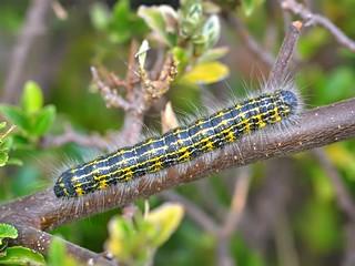 Buff-tip (Phalera bucephala) larva