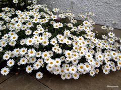 Anthemis punctata ssp. cupaniana