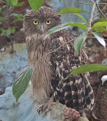 Common Brown Fish Owl (SivamDesign) Tags: brown fish bird fauna canon eos rebel kiss 300mm owl tele common x4 extensiontube 550d ef12ii brownfishowl ketupazeylonensis canonef300mmf4lisusm t2i bubozeylonensis bubozeylonensisleschenault