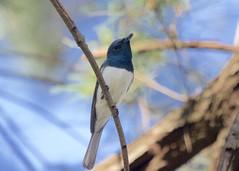 0I6A7435 Leaden Flycatcher (Male foraging near nest) (copsychus) Tags: bird birds australia breeding canberra act nesting 2015 leadenflycatcher pineislandreserve