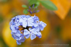 First_Shot-_Plumbago,_12.2.15 (pattyoboe) Tags: flowers flora plumbago wgwalk