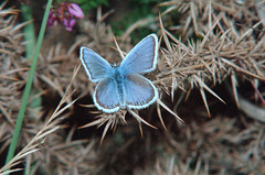1986_63_25_edited-1 (Clive Webber) Tags: ashdownforest lycaenidae plebejusargus silverstuddedblue