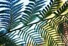 Fern Close-up (alexispadilla) Tags: california travel fern nature garden berkeley bayarea universityofcaliforniabotanicalgardenatberkeley