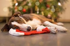 christmas blues (Maria Zielonka) Tags: christmas dog tree weihnachten advent fotografie dana hund cap stray shelter straydog baum mtze tanne tierheim streuner kooiker kooikerhondje zielonka ennie giocco strasenhund