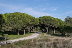Pinienwald (silkefoto) Tags: wald riaformosa pinien pinienwald portugalolhaoalgarve
