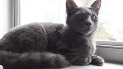 2015- Mowgli 02 (teresamarkos) Tags: mowgli cat cats kitten kittens felines feline