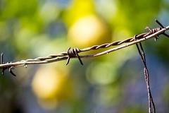 Inge Hoogendoorn (ingehoogendoorn) Tags: citroen citroenen mallorca lemon lemons geel yellow prikkeldraad barbedwire contrast beautifulmallorca sller