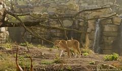 Pairi Daiza (Natali Antonovich) Tags: pairidaiza zoo tradition belgium belgique belgie nature park animal lioness predator