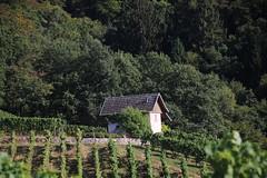 House in the vines (jakoboberle) Tags: house haus vines reben landscape landschaft blackforest schwarzwald germany deutschland german deutsch day tag sun sonne summer sommer fall herbst