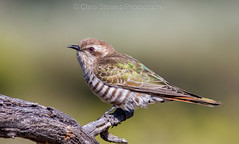 Horsfield's Bronze-cuckoo (chrissteeles) Tags: horsfieldsbronzecuckoo bronzecuckoo mtmary southaustralia mallee