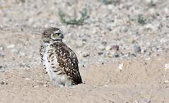 Looking Over Yonder -- Burrowing Owl (Athene cunicularia); Los Lunas, NM [Lou Feltz] (deserttoad) Tags: nature newmexico bird wildbird wildlife raptor owl desert behavior migration