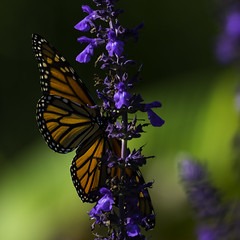 Monarch_SAF2873-1 (sara97) Tags: butterfly flyinginsect insect missouri monarch monarchbutterfly nature outdoors photobysaraannefinke pollinator saintlouis urbanpark danausplexippus copyright2016saraannefinke