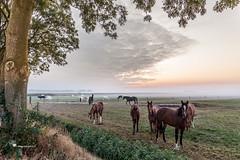 Horses in the mist in the Betuwe near the village Gellicum (betuwefotograaf) Tags: betuwe morning horses horse sunrise gellicum mist fog sunlight betuwefotograaf