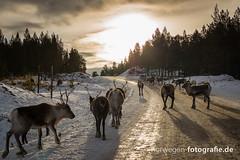 DSC02372 (norwegen-fotografie.de) Tags: norw norwegen norway norge femunden femundsmarka villmark hedmark see wildnis wald landschaft