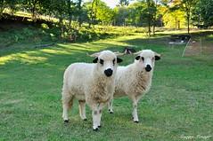 Tondeuse écolo (joménager) Tags: nikonafs1755f28 nikond300s mouton nikonpassion animaux thononlesbains hautesavoie france fr