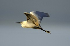 Off to Roost at Bucklesham (Chris Baines) Tags: little egret bucklesham suffolk in flight