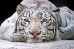 Sky ♂ - I Looked at You - You Looked at Me (Belteshazzar (AKA Harimau Kayu)) Tags: sky tiger zoo animal bigcat bigcats feline bengaltiger pantheratigristigris königstiger indischertiger eltigredebengala tigredubengale latigrerealedelbengala бенгальскийтигр 孟加拉虎 whitetiger weisertiger tigreblanco tigreblancroyal белыйтигр 孟加拉白虎 zooshot tobu tobuzoo snowwhite sunbathing canada playful playfulcat playfultiger playfulwhitetiger bengal sex blueeyes curiosity