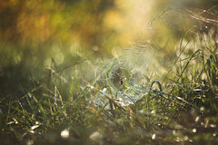 Tread carefully (Tammy Schild) Tags: spider web grass field fall autumn october insect bokeh blur light morning nature helios 402