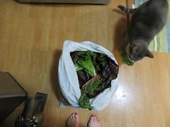 Big Bag o' Chard (andrea z) Tags: chard cat graycat percy grimalkin