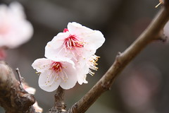 Sakura in Hamarikyu Gardens (ncfresmann) Tags: travel flowers cherryblossom sakura japan tokyo hamarikyu gardens cherry tree spring springtime