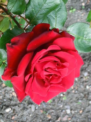Rote Rose - Röd ros