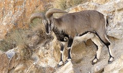 Bharal, Himalayan blue sheep, India 2016 (reurinkjan) Tags: india 2016 janreurink himachalpradesh spiti kinaur ladakh kargil jammuandkashmir pseudoisnayaur bharal himalayanbluesheep bharalbluesheeprnapo rnaba himalayamountains sunrise himalayamtrange himalayas landscapepicture landscape landscapescenery mountainlandscape
