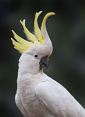 SC Cockatoo WT!! (caralan393) Tags: birds cockatoo sulphur crested portrait crest