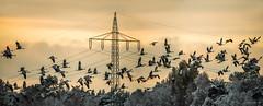 Kraniche - Abflug ins Moor (Pana53) Tags: photographedbypana53 pana53 kraniche vgel schwarm flug naturundlandschaftsfotografie naturfoto sonnenuntergang abendlich himmel strommast hindernisse winterlich niedersachsen bundesland nordheide moor avensenermoor nikond810 nikon sigmas150600mm outdoor