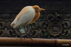 DSC07320 (Peripatete) Tags: bali ubud petulu nature birds travel tourism