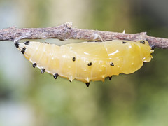 Butterfly Pupa on a Branch (kanidsorn_tom) Tags: butterfly pupa cocoon green macro nature chrysalis caterpillar wild shell life insect animal metamorphosis beauty isolated leaf background white yellow house environment pupae tropical wildlife ecology exotic wing biology plants animals change interesting insects butterflies features transform larvae beautiful set collection businessquotes advertisingmessage yourtext copyspace openspace suanluang bangkok thailand