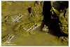 কোলা ব্যাঙের পরিবার (shovonrahmaney) Tags: asian bullfrog hoplobatrachus tigerinus frog animalia chordata amphibia anura dicroglossidae daudin 1802 indian golden tiger peters dicroglossus tigrinus euphlyctis tigerina limnonectes rana tigrina merrem gracilis variety pulla stoliczka picta gravenhorst 1829 shovon rahmaney clicktoframe bangladesh bangladeshi outdoor