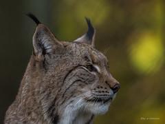 Im Profil (wernerlohmanns) Tags: raubtiere katzen groskatzen fleischfresser duisburgerzoo deutschland d7200 sigma150600c schrfentiefe tiere