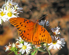 Gulf fritillary - in the December sun! (Vicki's Nature) Tags: gulffritillary butterfly orange spots white asters wildflowers fall december winter 60o etowahriverpark canton georgia vickisnature canon s5 3199 dof