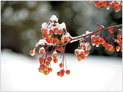 (melolou) Tags: bokeh berries snow contrast winter branch