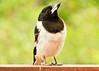 Pied butcherbird (22 of 22) (Daniela Parra F.) Tags: aves birds butcherbird piedbutcherbird australia queensland southeastqueensland birdsofaustralia australianwildlife aussiebirds australianbirds wild wildlife springbrook subtropical rainforest mountainrainforest springbrooknationalpark