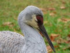 Slumber party (Laura Rowan) Tags: sandhillcrane crane resting kensingtonmetropark michigan